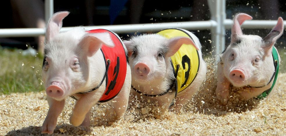 Fathers Day Pig Races